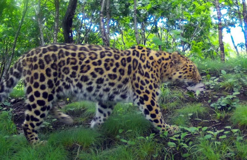 Необычное соседство самки леопарда с дочерью отметили в приморском нацпарке