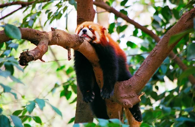 Открыт новый вид красных панд