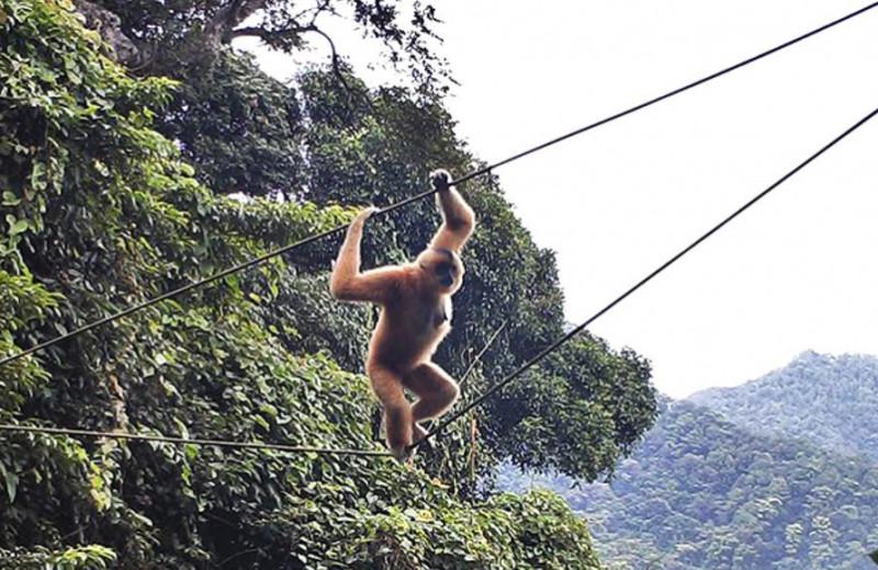 Для гиббонов протянули веревочный мост через овраг. И они научились по нему ходить!