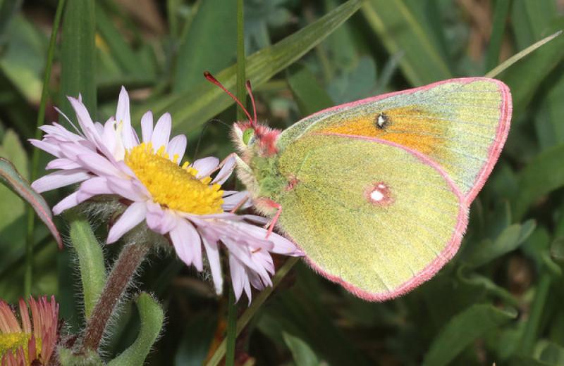 Снизившуюся популярность коллекционирования бабочек назвали угрозой их изучения