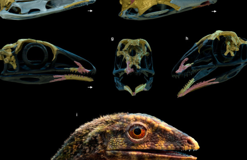 У птерозавров нашлись нелетающие родственники