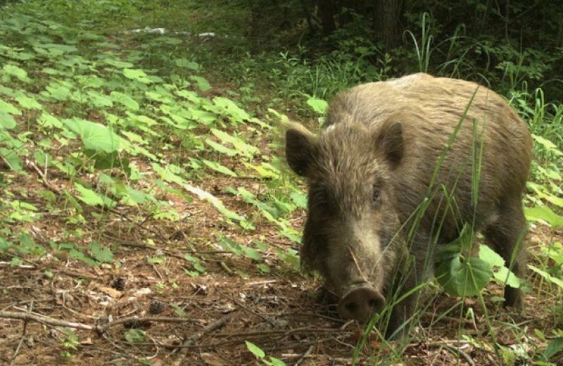 Кабаны начали вытеснять других животных из зоны отчуждения Фукусимы