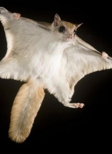 Белки-летяги начали экспансию на север и завоевывают территории сородичей
