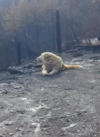 «Никогда не сдавайтесь!» – история пса, месяц ждавшего хозяйку на пепелище