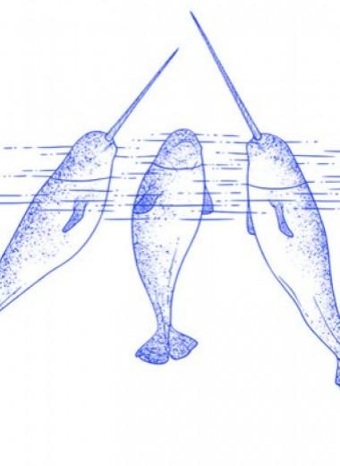 На длину бивней нарвалов повлиял половой отбор