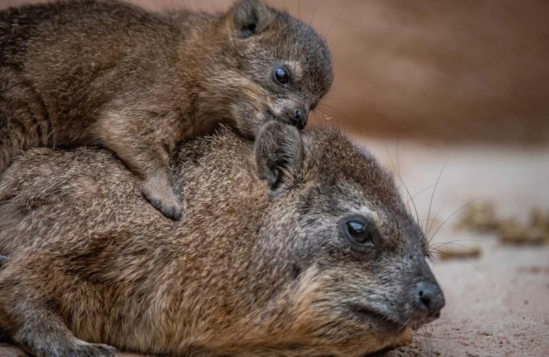Пополнение в британском зоопарке: удивительные капские даманы