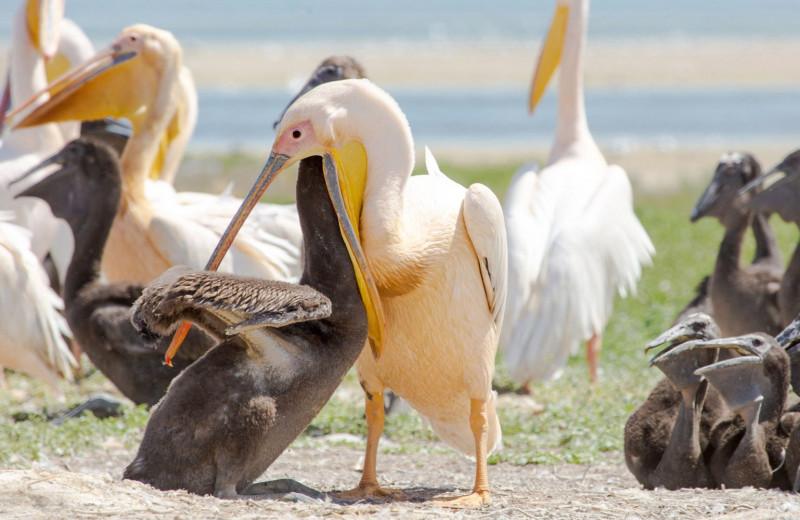 Пеликана видели? Интересные факты о баба-птицах