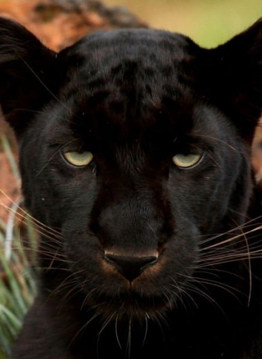 Около половины леопардов на полуострове Малакка – черные