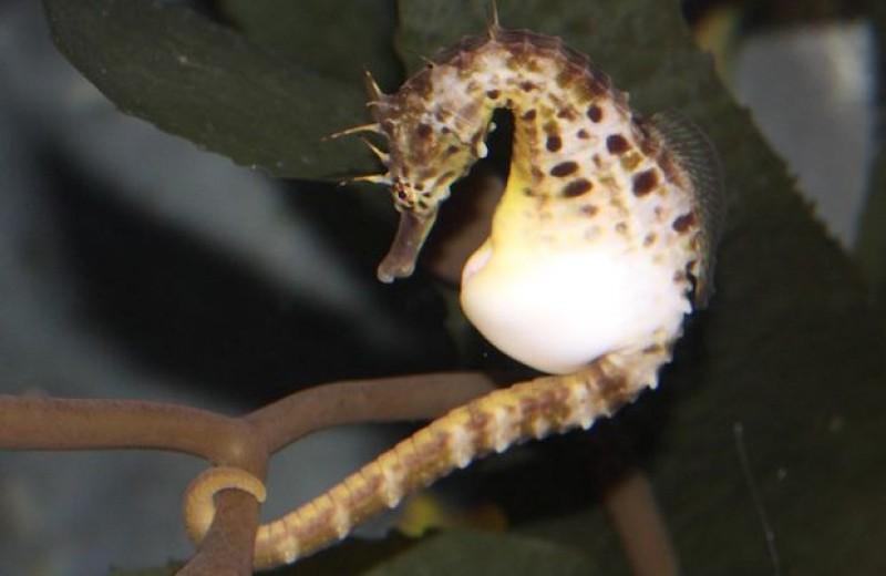 Морские коньки усмирили иммунитет ради вынашивания детенышей