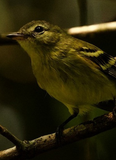 Орнитологи переоткрыли скрывавшуюся 16 лет птицу из Венесуэлы