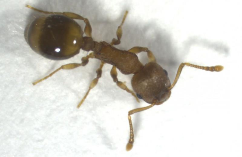Паразиты наделяют муравьев долголетием, но в этом нет ничего хорошего
