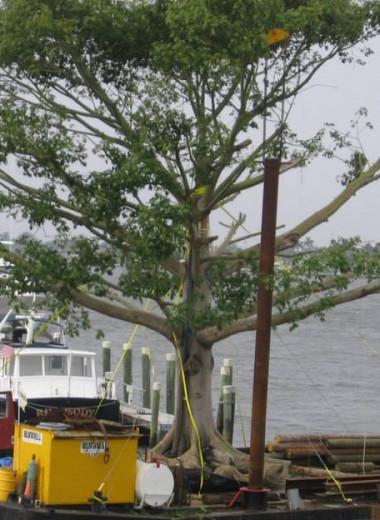 Гигантские деревья стали новым символом богатства