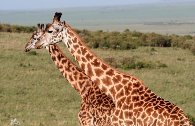 Общение с сородичами повысило выживаемость самок жирафов