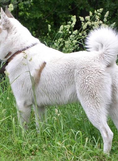 Американские собаки происходят из Сибири