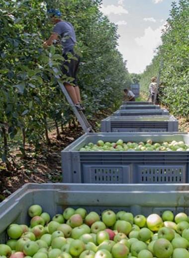 Apple из Краснодара. Как устроен крупнейший фруктовый сад в Европе