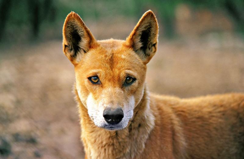 Динго: собаки с волчьим билетом