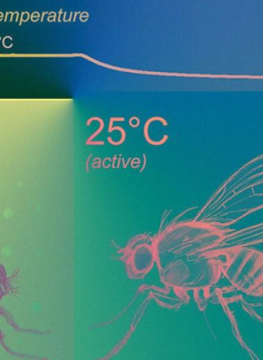 Сенсоры холода помогли дрозофилам с полезной ленью