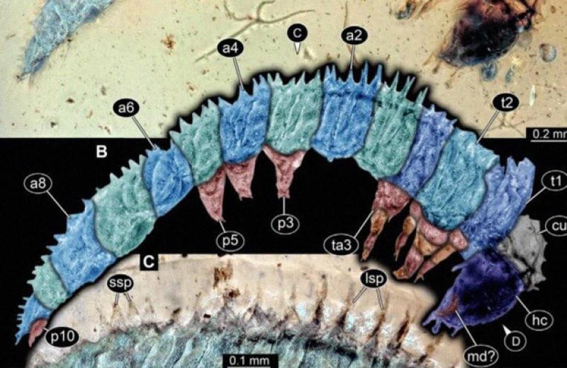 В бирманском янтаре нашли шипастую гусеницу возрастом 100 миллионов лет