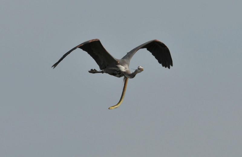 Живой угорь свисает из желудка летящей цапли: невероятное фото