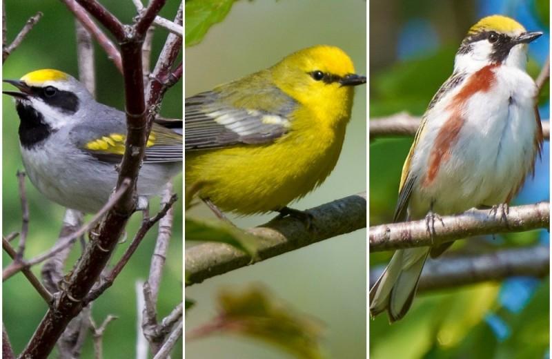 Необычная птица оказалась гибридом трёх видов – впервые в истории