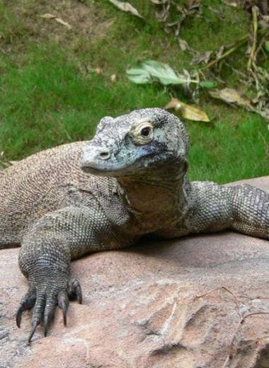 «Драконьи забавы»: игры комодских варанов