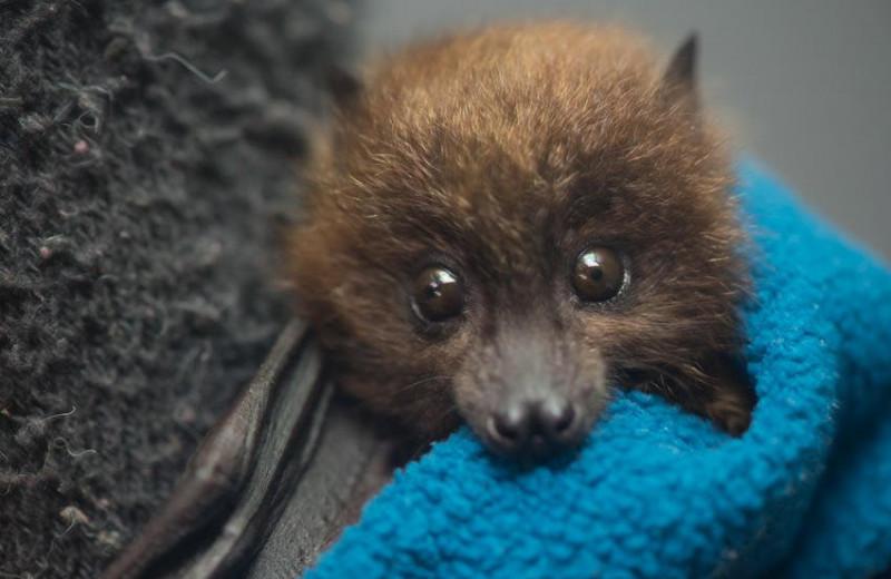 В Орегонском зоопарке родились редкие летучие лисицы: видео