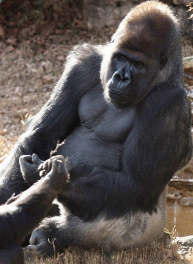 Как рождается любовь в мире горилл