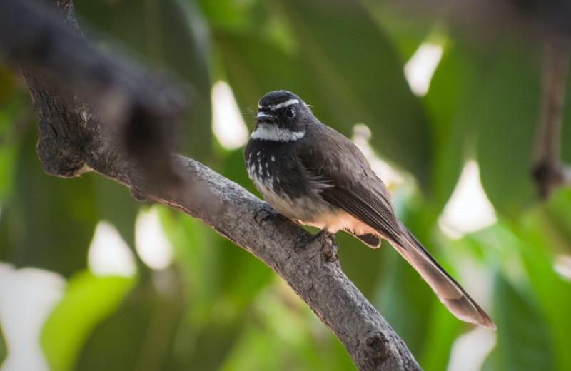 Зачем крошечные птицы нагло воруют мех у хищников