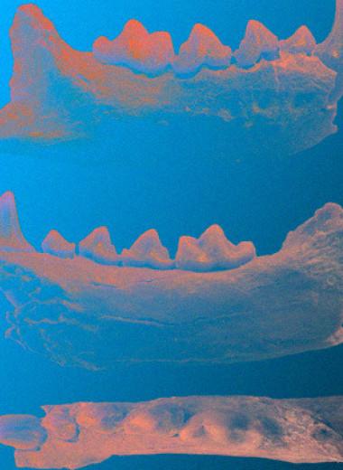 Палеонтологи разобрались в родственных связях древних и современных медоедов