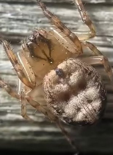 Как бьется сердце паука: видео с необычного ракурса