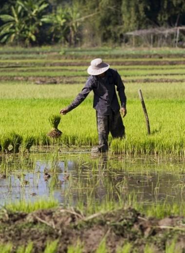 К концу века рис может потерять треть витаминов группы B
