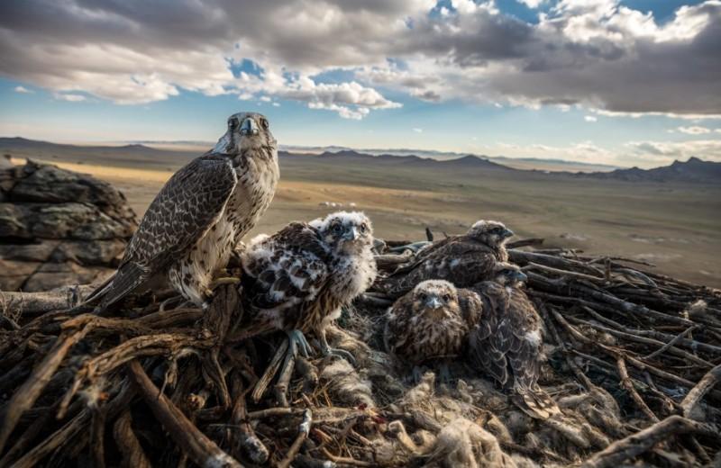 Повелители неба: как спасти самых быстрых птиц на планете