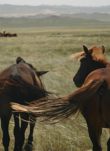 Какие лошади генетически близки древним монгольским лошадям?