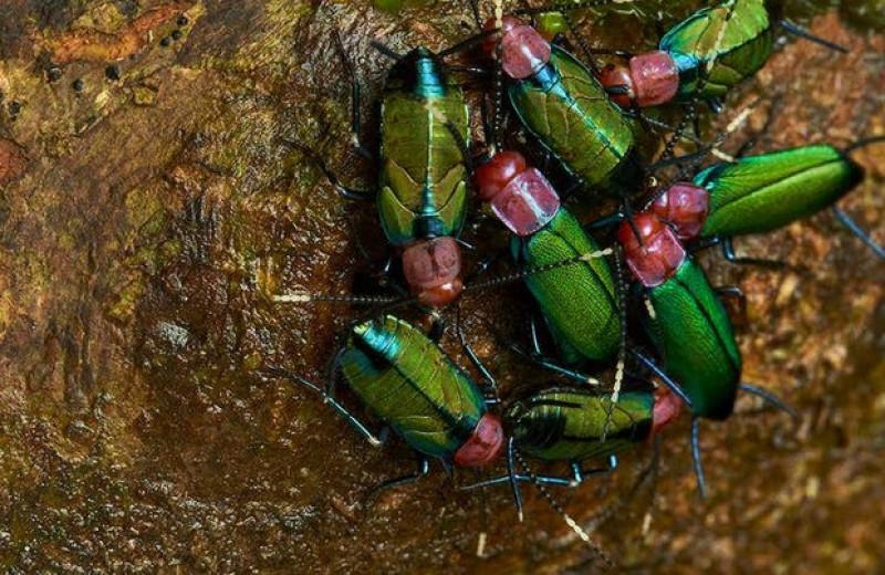 Энтомологи заподозрили среди южноамериканских тараканов королеву и рабочих