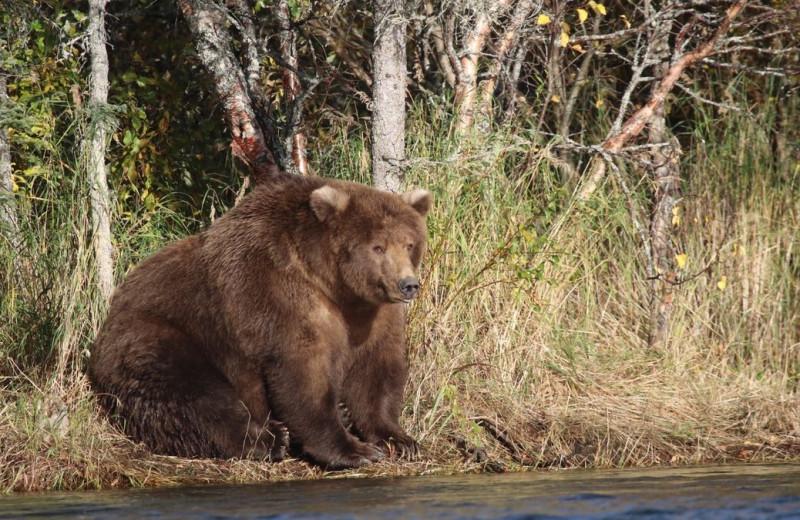 Какой медведь самый толстый? Заповедник на Аляске провёл голосование