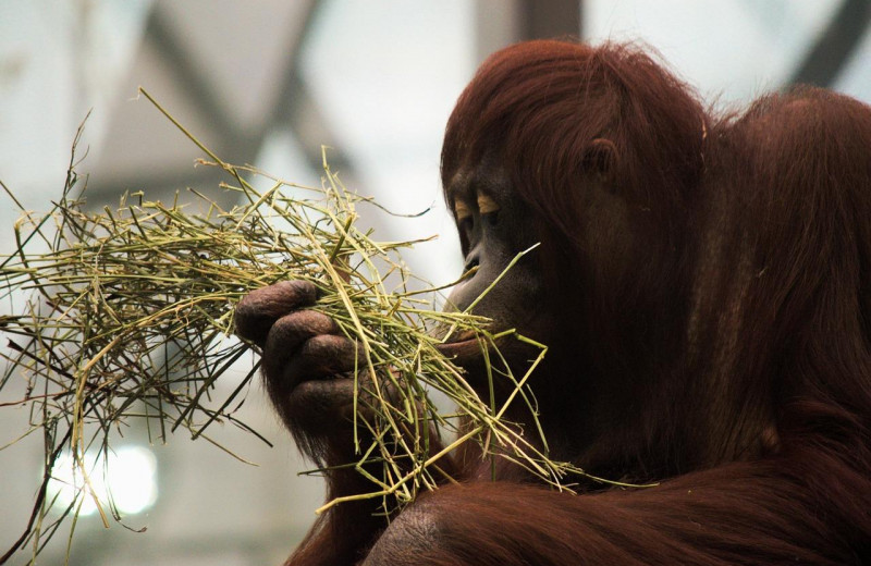 Остров Борнео лишился половины орангутанов