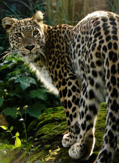 Выпущенные на Кавказе леопарды осваиваются в горном краю