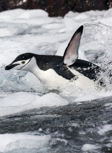 Почему пингвины не летают