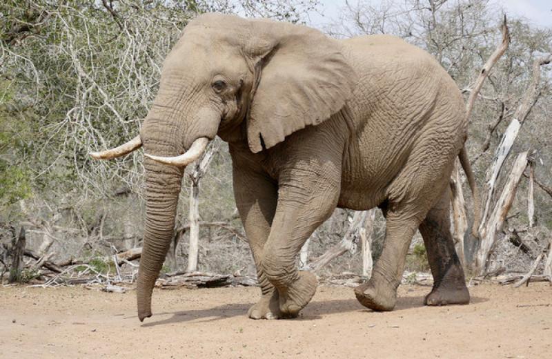 МСОП признал африканских слонов двумя разными видами. Оба они быстро вымирают