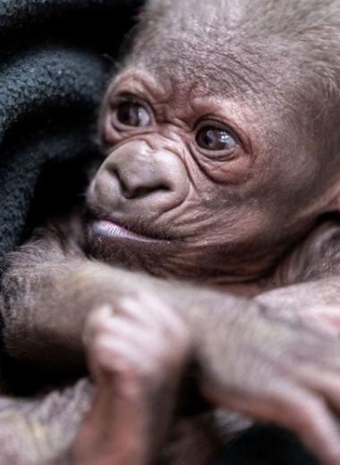 В американском зоопарке празднуют рождение гориллы: видео