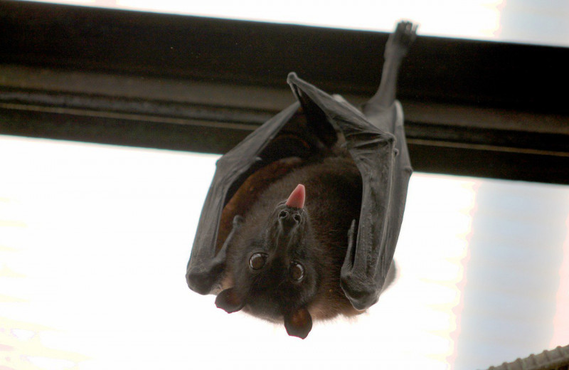 «Гонка вооружений» в мире летучих мышей