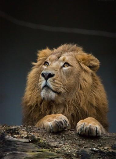 Радость гривастая: в Индии увеличилась популяция азиатских львов