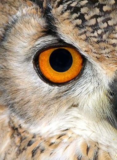 Секрет ночного зрения сов может заключаться в особом типе ДНК в их сетчатке