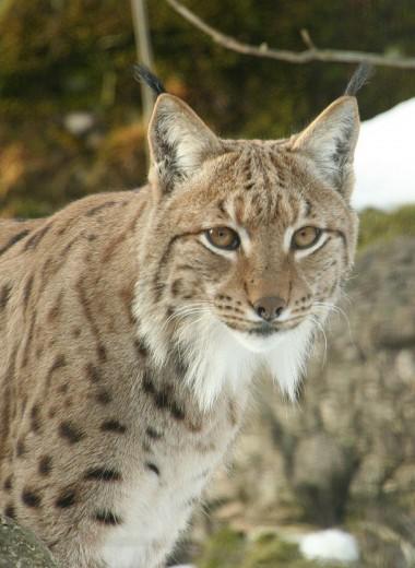До конца столетия с лица Земли могут исчезнуть 558 видов млекопитающих