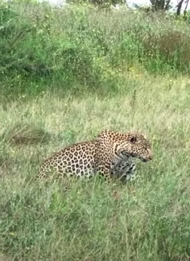 Леопард подобрался вплотную к антилопе и медлил нападать: видео
