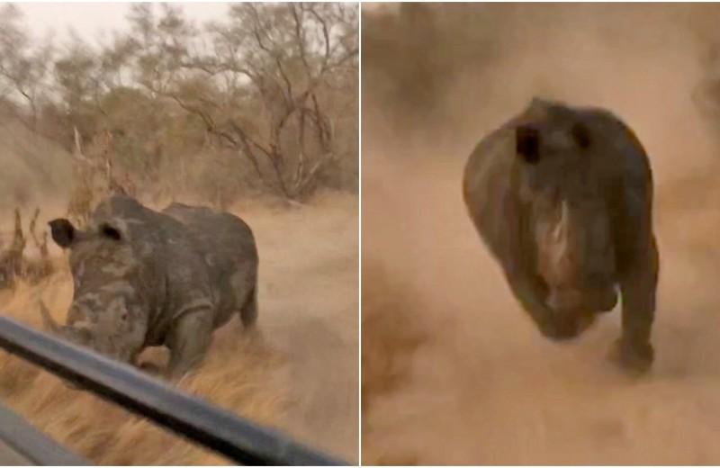 Что делать, если вас преследует носорог: видео