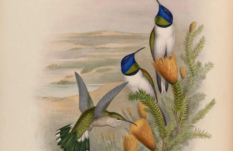 Шум воды и ветра заставил горных колибри общаться на рекордно высоких частотах