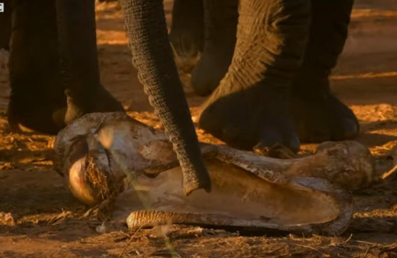Слоны привели осиротевшего слоненка попрощаться с матерью: видео