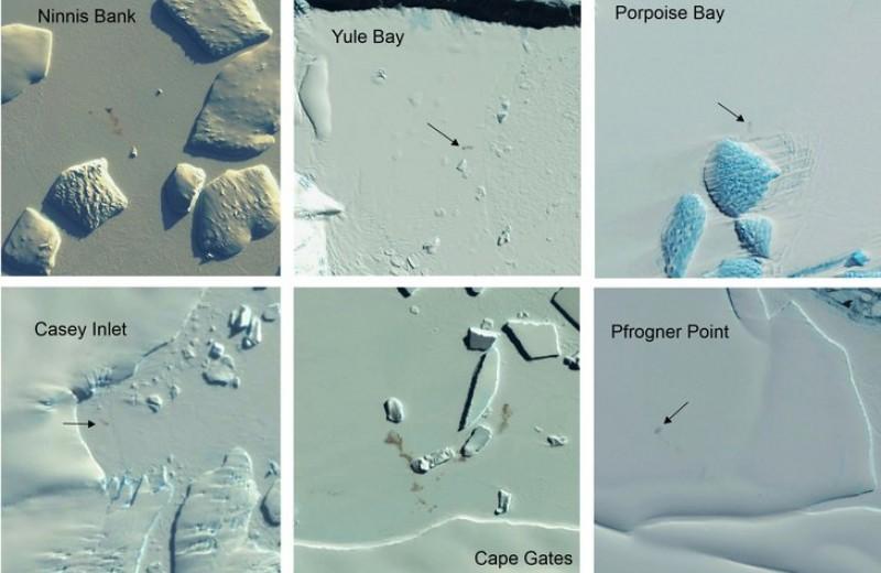 Спутники обнаружили новые колонии императорских пингвинов в Антарктиде
