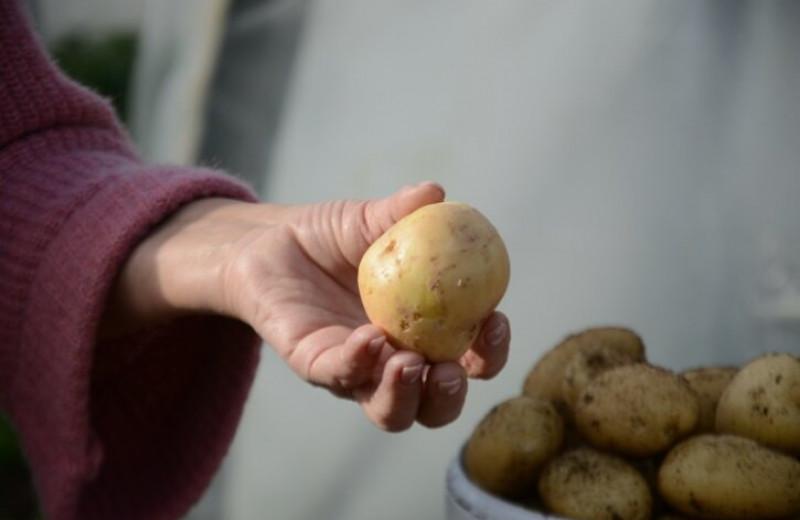 В Сибири вывели новый сорт картофеля